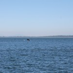 We had TWO full breaches from this beautiful family of orcas!