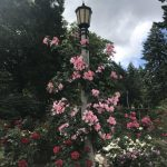 Beautiful fluffy roses wrapped around a light post.